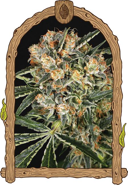 Exotic Seed Hippie Therapy CBD Feminized