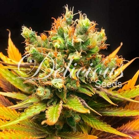 Delicious Seeds Honeybells Feminized