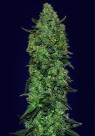 Advanced Seeds Auto Skunk Mass Feminized PICK N MIX