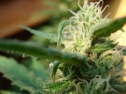 Mr Nice Seeds Angle Breath Regular