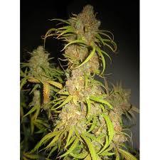 Mr Nice Seeds NL5 x Afghan Regular
