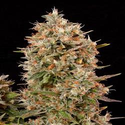 Dinafem Seeds Dinachem Feminized (PICK N MIX)