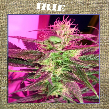 French Touch Seeds Irie Regular