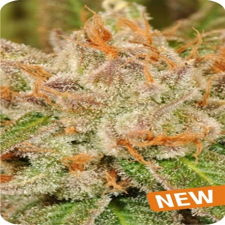 Dispensario Seeds Island Eisbaer Feminized