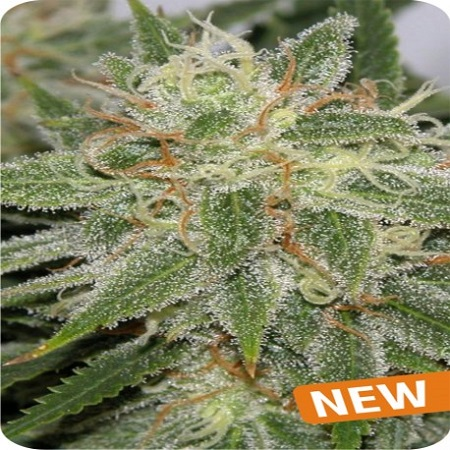 Dispensario Seeds Island Grapefruit Punch Feminized