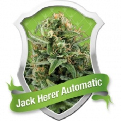 Royal Queen Seeds Jack Herer Auto Feminized (PICK N MIX)