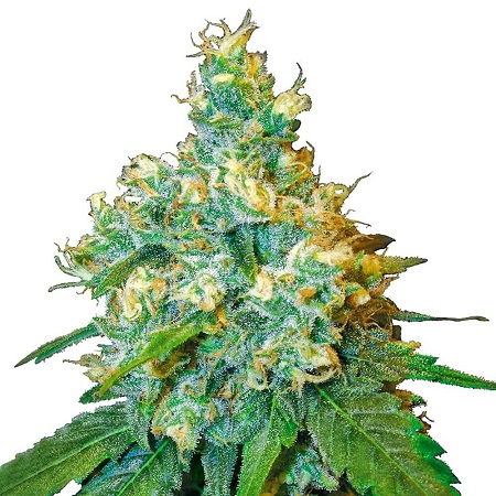 Jack Herer – Feminized – Sensi Seeds