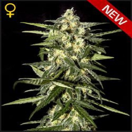 Green House Seeds Jack Herer Auto Feminized