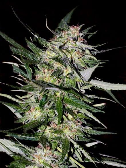 Advanced Seeds Jack Plant Feminized