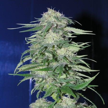 Homegrown Fantaseeds  K2 Regular