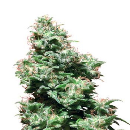 White Label Seed Company Kali Haze Regular