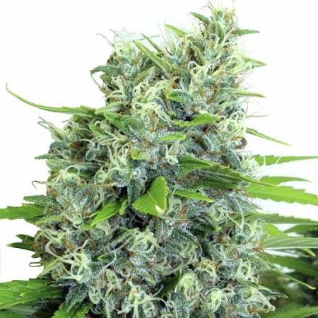 Kali Bubba - Regular - Serious Seeds