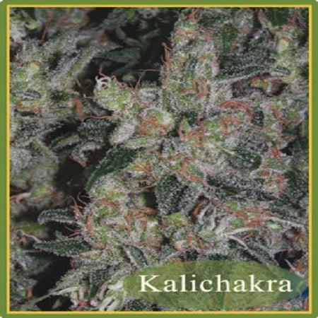 Mandala Seeds Kalichakra Regular