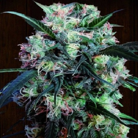Ace Seeds Kali China Feminized
