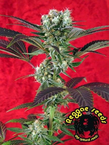 Reggae Seeds Kalijah Regular