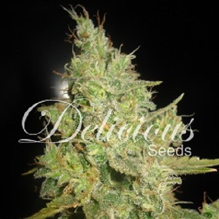Delicious Seeds Critical Kali Mist Feminized