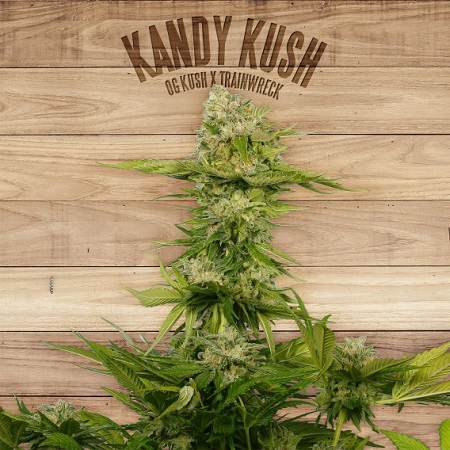 The Plant Organic Seeds Kandy Kush Feminized