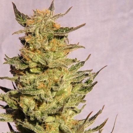 Kannabia Seeds Karamelo Feminized
