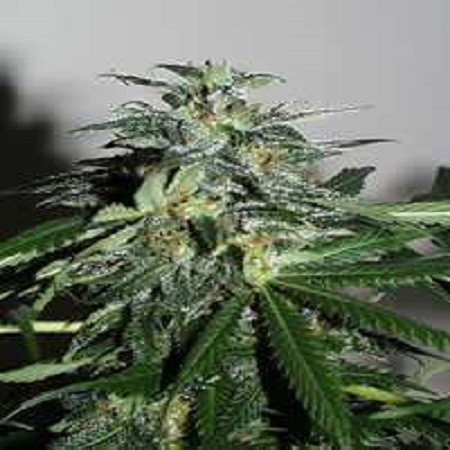 KC Brains Seeds Cyber Crystal Feminized