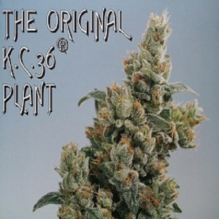 KC Brains Seeds KC36 Regular