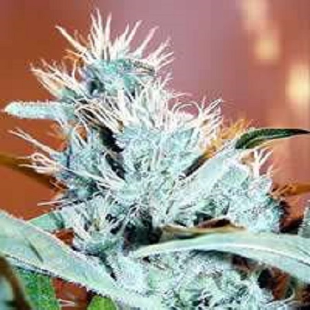 KC Brains Seeds Leda Uno Feminized