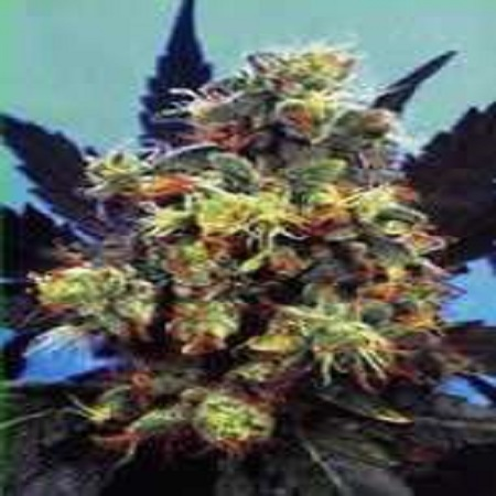 KC Brains Seeds Mind Bender Feminized