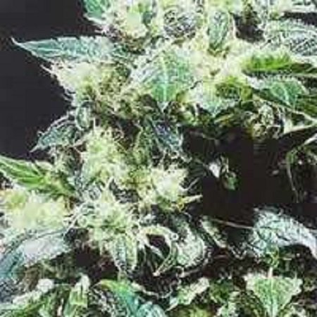 KC Brains Seeds Northern Lights Special Feminized