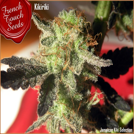 French Touch Seeds Kikiriki Regular