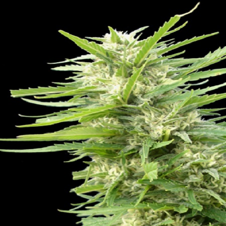 Genehtik Seeds Kritikal Bilbo x AK-47 Feminised (PICK N MIX)