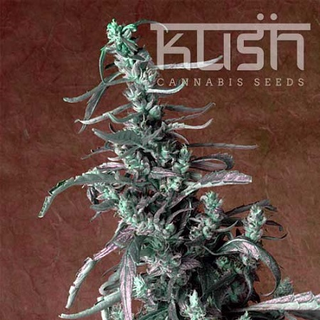 Kush Cannabis Seeds Haze Kush Feminized