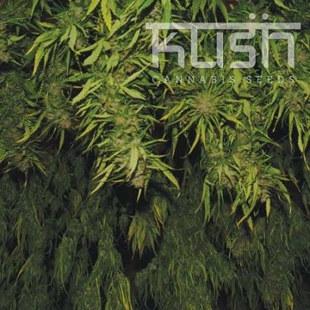 Kush Cannabis Seeds Afghani Kush Regular