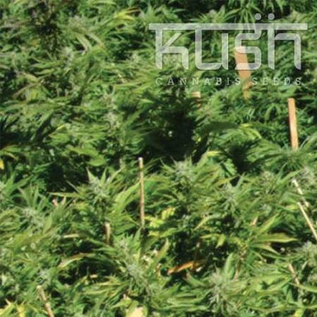 Kush Cannabis Seeds Lemon Kush Feminized