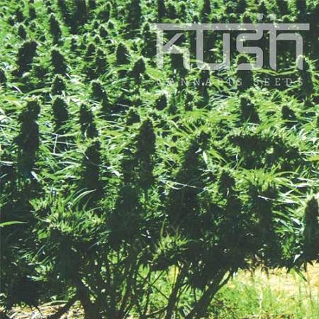 Kush Cannabis Seeds Sweet Kush Regular