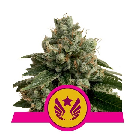 Royal Queen Seeds Legendary Punch Feminized (PICK N MIX)