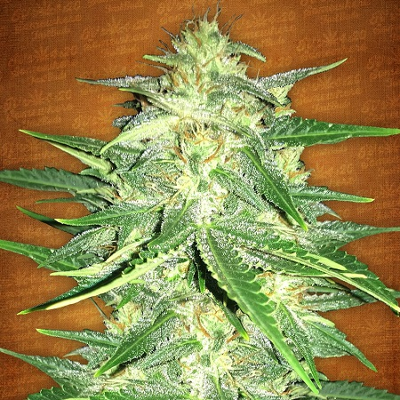 FastBuds Seeds Lemon AK Auto Feminized (PICK N MIX)