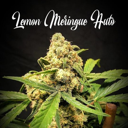 Lemon Meringue Auto - Feminized - Tastebudz
