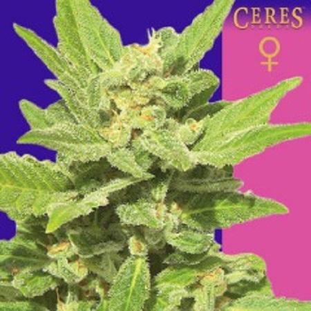 Ceres Seeds Lemonesia Feminized