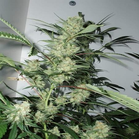 CannaBiogen Seeds Leshaze Feminized
