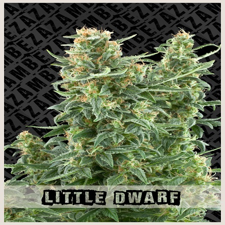 Zambeza Seeds Little Dwarf Auto Feminized
