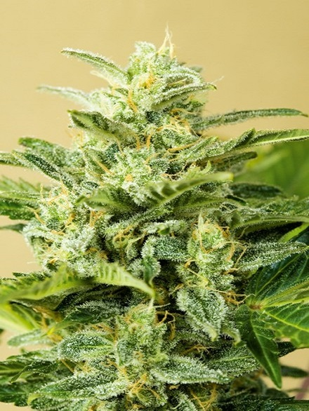 Advanced Seeds Auto Low Girl Feminized