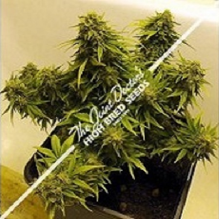 The Joint Doctor Seeds Auto Mix Feminised