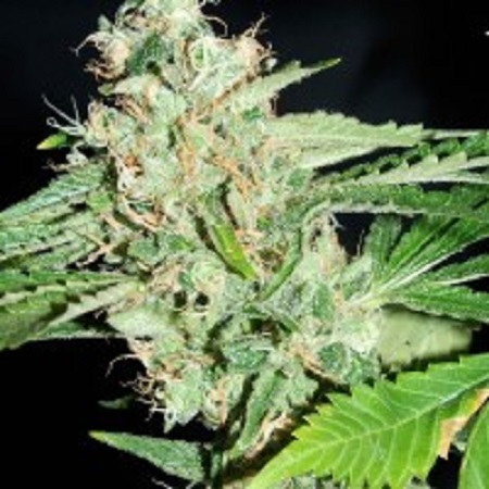 Reeferman Seeds Love Potion #1 x Nigerian Regular