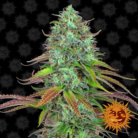 Barney's Farm Seeds LSD Auto Feminized (PICK N MIX)