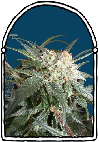 The KushBrothers Seeds Malibu Feminized (PICK N MIX)