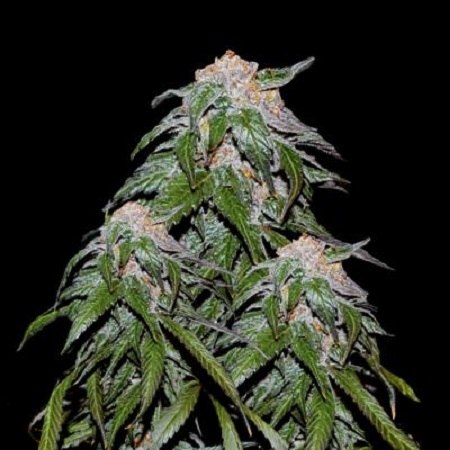 VIP Seeds Medical VIP Feminized (PICK N MIX)