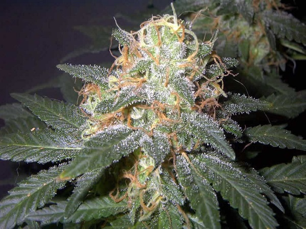 Sensible Seeds Premium Selection Mega Mouth Feminized
