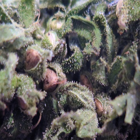 Reeferman Seeds Mighty Mite Regular