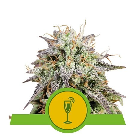 Mimosa Auto - Feminized - Royal Queen Seeds