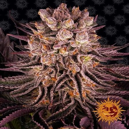 Mimosa x Orange Punch - Feminized - Barneys Farm (PICK N MIX)