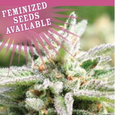 Auto Magic Melon - Feminized - Humboldt Seed Company